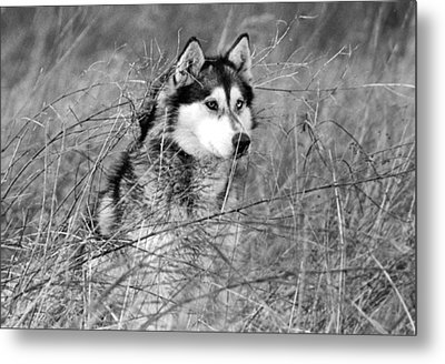 Wolf In The Grass Metal Print by Kyle Gray