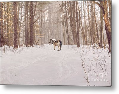 Wolf In Winter Metal Print by Kathleen Rinker