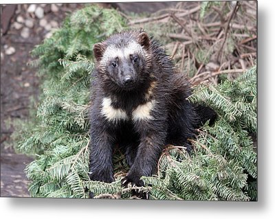 Wolverine - Kit - 0009 Metal Print