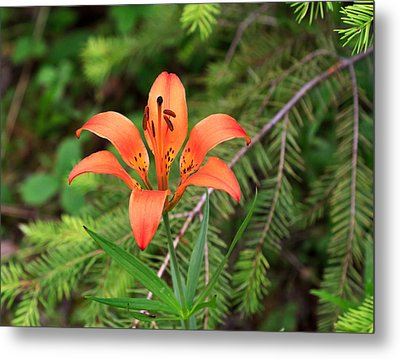 Wood Lily Also Called Prairie Lily Or Western Red Lily Metal Print by Louise Heusinkveld