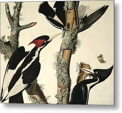 Woodpecker Metal Print by John James Audubon