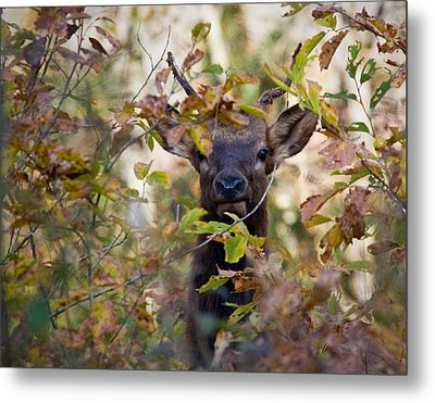 Metal Print featuring the photograph Yearling Elk Peeking Through Brush by Michael Dougherty