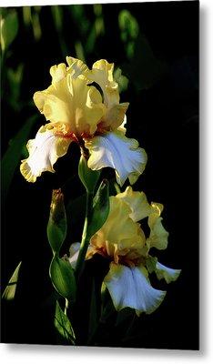 Yellow And White Irises 6681 H_2 Metal Print