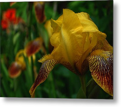 Yellow Beared Iris Metal Print by Martin Morehead