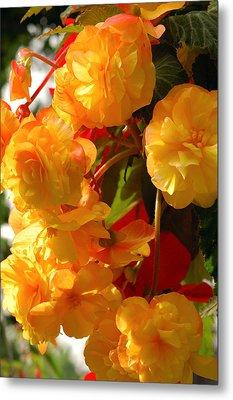 Yellow Begonia Flowers.  Victoria Metal Print by Darlyne A. Murawski