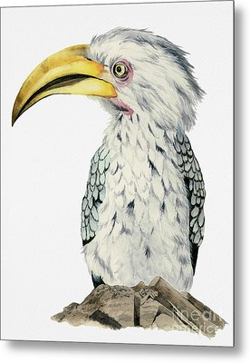 Yellow-billed Hornbill Watercolor Painting Metal Print by NamiBear