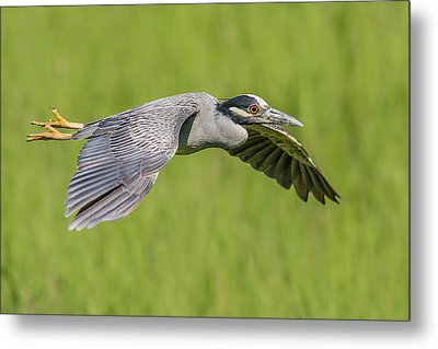 Yellow-crowned Night-heron In Flight Metal Print by Morris Finkelstein