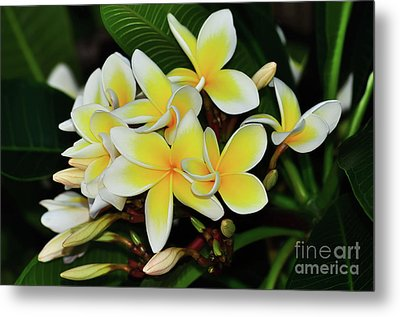 Metal Print featuring the photograph Yellow Plumeria By Kaye Menner by Kaye Menner