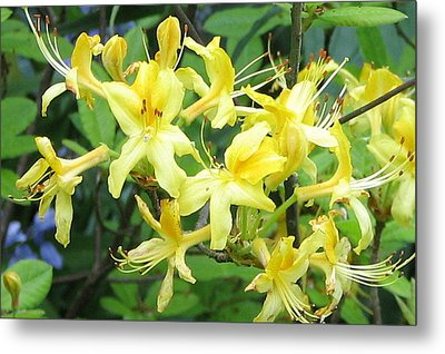 Yellow Rhododendron Metal Print by Carla Parris
