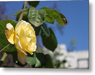 Yellow Rose 2 Metal Print by Remegio Onia