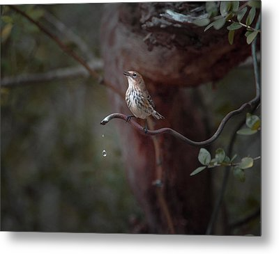 Yellow-rumped Warbler At Water Spout Metal Print