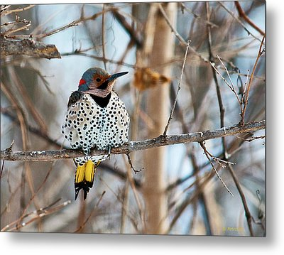 Yellow-shafted Northern Flicker Staying Warm Metal Print by Edward Peterson