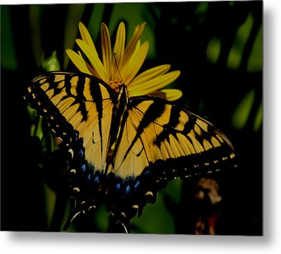Yellow Tiger Swallowtail Butterflly Metal Print by Martin Morehead