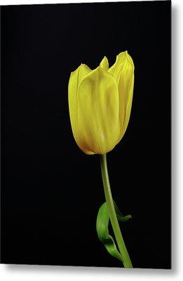 Metal Print featuring the photograph Yellow Tulip by Dariusz Gudowicz