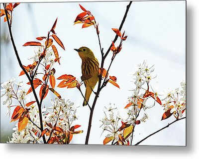 Yellow Warbler Metal Print by Debbie Oppermann