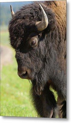 Yellowstone Bison Portrait Metal Print by Sandra Bronstein