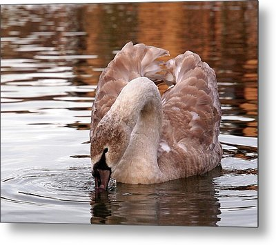 Young Beauty - Juvenile Mute Swan Metal Print by Gill Billington