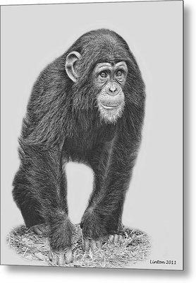 Young Chimpanzee 2 Metal Print