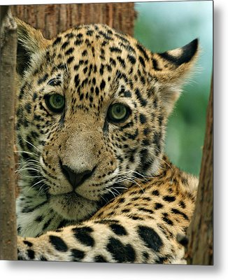 Young Jaguar Metal Print by Sandy Keeton