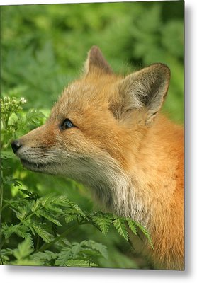 Metal Print featuring the photograph Young Red Fox In Profile by Doris Potter