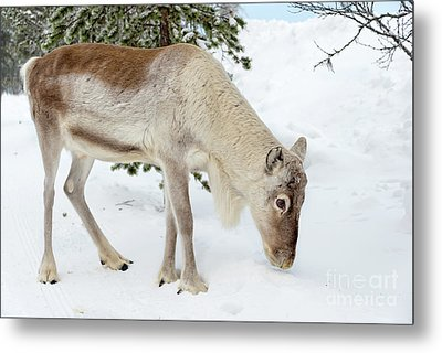 Metal Print featuring the photograph Young Rudolf by Delphimages Photo Creations