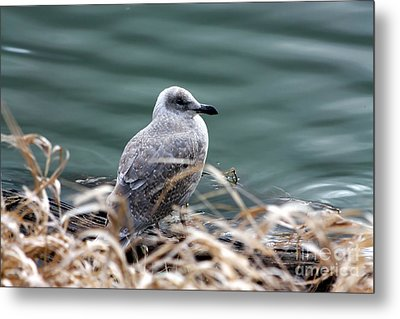 Young Seagull Metal Print by Nick Gustafson