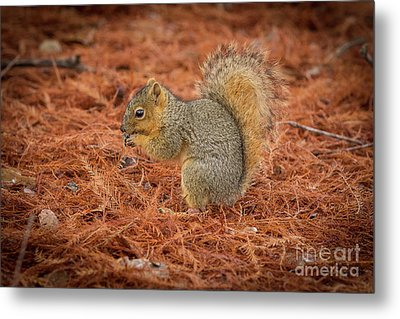 Yum Yum Nuts Wildlife Photography By Kaylyn Franks     Metal Print by Kaylyn Franks