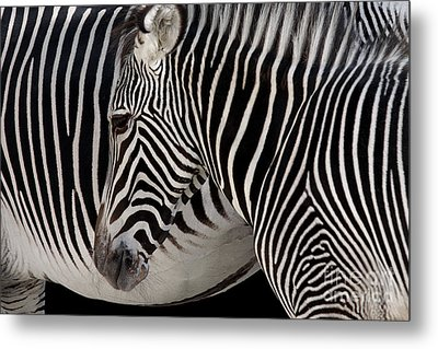 Zebra Head Metal Print by Carlos Caetano