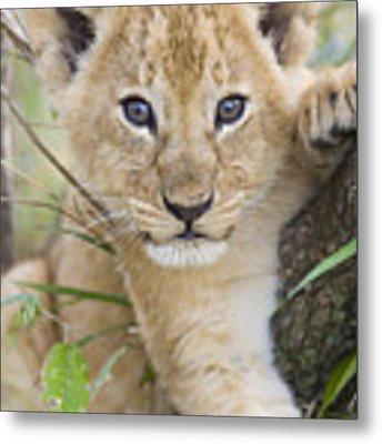 African Lion Cub Kenya Metal Print by Suzi Eszterhas