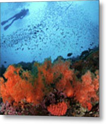 Diver And Soft Corals In Pescador Island Metal Print