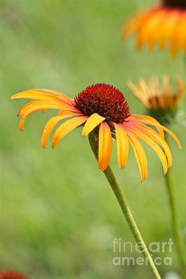 Poster featuring the photograph Coneflower by Eve Spring