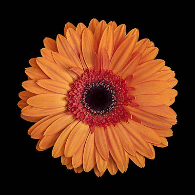 Orange Gerbera Daisy On Black Poster by Zoe Ferrie
