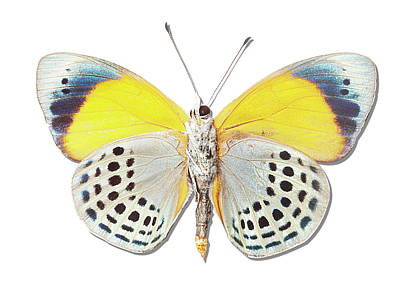 Underside Of Brush-footed Butterfly Of Peru Poster by MajchrzakMorel