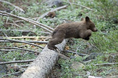 American Black Bear Ursus Americanus Poster
