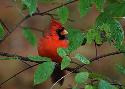 Northern Cardinal Poster by Perry Van Munster