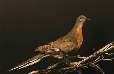 A Stuffed And Mounted Passenger Pigeon Poster