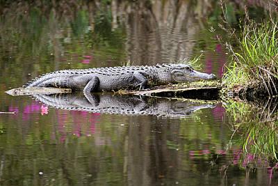 Alligator Sunbathing Poster