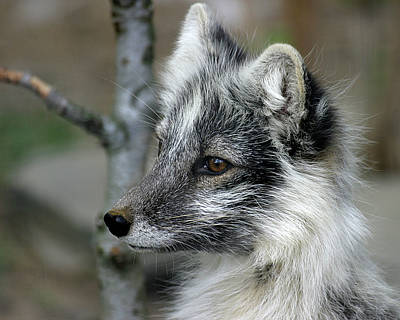 Arctic Fox In Spring Poster