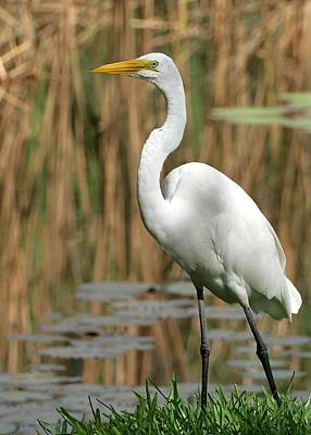 Beautiful Great White Egret Poster by Sabrina L Ryan