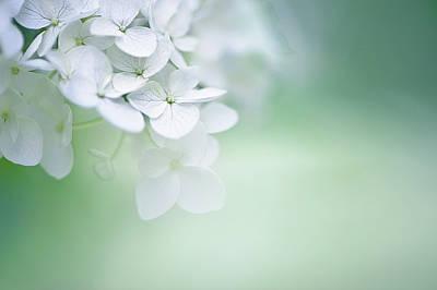 Close Up Of White Hydrangea Poster by Elisabeth Schmitt