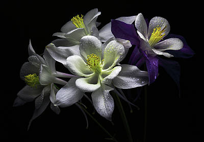 Columbine Flowers Poster by Flower photography by Viorica Maghetiu