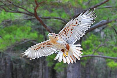 Ferriginious Hawk In Flight Poster by Alan Lenk