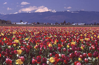 Field Of Tulips And Mount Baker Poster by Ansel Price