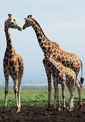 Giraffe Family Poster by Sallyrango