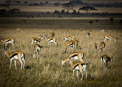 Herd Of Antelope Poster by Darcy Michaelchuk