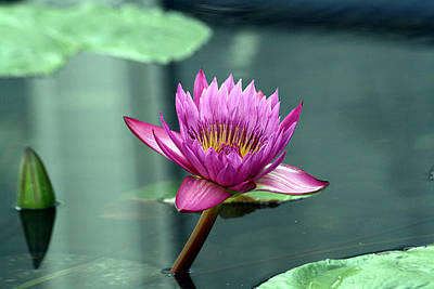 Hot Pink Water Lily Poster by Brenda Thour