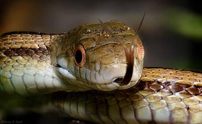 Juvenile Yellow Rat Snake Poster by Warren Sarle