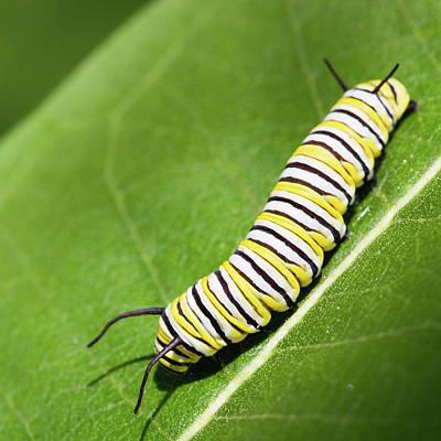 Monarch Butterfly Caterpillar Poster by Paul Omernik