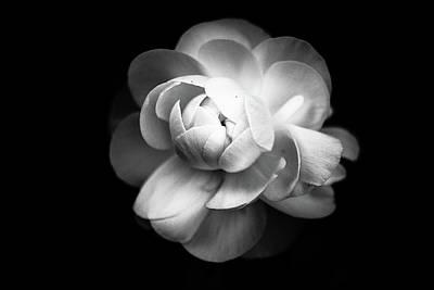 Ranunculus Flower Poster by Annfrau