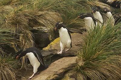 Rockhopper Penguins, Eudyptes Poster by Ralph Lee Hopkins